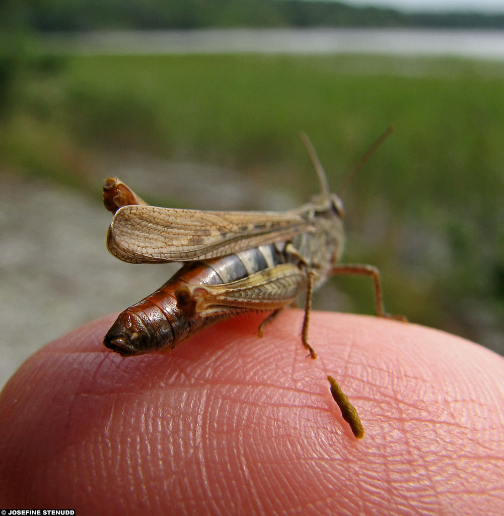 Grasshopper poop - photo#26