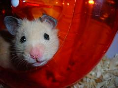 Mah Wheel (meagan.wedgewood) Tags: pet wheel pancakes hamster smallanimal