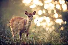 bokeh at dawn (andrew evans.) Tags: lighting morning trees light summer england sun mist nature misty fog fairytale forest sunrise golden countryside kent woods nikon bokeh wildlife calm deer explore ethereal wonderland storybook magical frontpage 70200 f28 enchanted d3