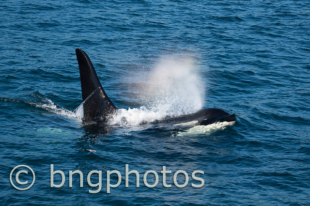 21 year old Orca Male heading towards shore to meetup with his mother and brother to hunt for salmon