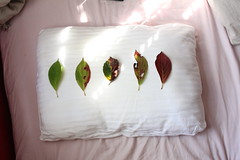 your many stages of growth (Lauren Plevy) Tags: pink light red white lauren green fall leaves dead leaf grow pillow growth sooc laurenisuperman