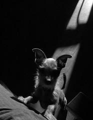 friend (Jeremiah John McBride) Tags: shadow bw dog amigo friend ears terrier binks chorkie thelittledoglaughed bullfrogphoto jeremiahjohnmcbride