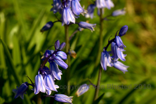 bluebell by ben binsted