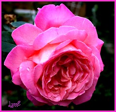 For SolarScots' Awesome testimonial, I thank you ever so much, John.  http://www.flickr.com/photos/solarscot/5045373966/ (Lynn English-away) Tags: rose myrosegarden bej flickrsfantasticflowers fleursetpasages