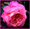 For SolarScots' Awesome testimonial, I thank you ever so much, John.  http://www.flickr.com/photos/solarscot/5045373966/ (Lynn English) Tags: rose myrosegarden bej flickrsfantasticflowers fleursetpasages