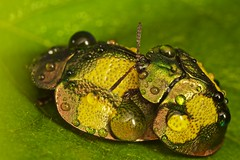 Mating iridescent golden tortoise beetles (pbertner) Tags: macro nature animals america outdoors amazon rainforest south insects bugs guyana tropical biology entomology herpetology macrophotography macrography