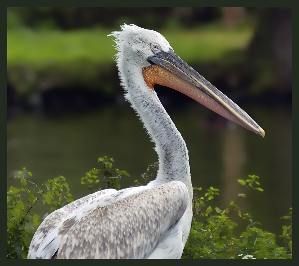 Eastern or Great White Pelican at Chester Zoo