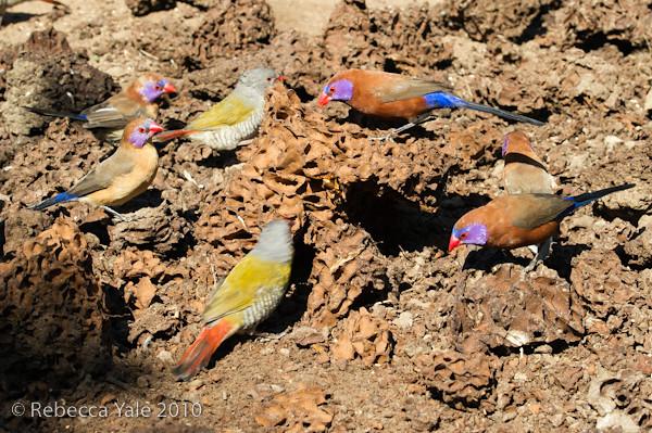 RYALE_African_Dawn_Birds_70