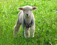 Pet (Jakza) Tags: pet ovelha