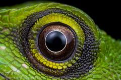 Explored....Green Crested Lizard....IMG_8924 copy (Kurt (OrionHerpAdventure.com)) Tags: macro eye reptile lizard greencrestedlizard bronchocelacristatella orionmystery upclosewithnature