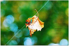 Bokeh - Autumn leaf (blmiers2) Tags: blue autumn orange usa newyork green fall nature leaf nikon october bokeh fallcolors spiderweb picture autumncolors picnik d40x bokehs bokehleaves blm18 blmiers2