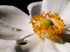 (rubioz) Tags: madrid white flower blanco yellow raw flor olympus amarillo processing jardinbotanico lightroom offcenter e510 uro descentrado