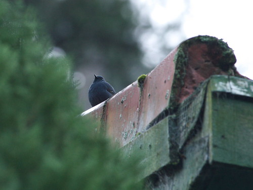鉛色水鶇公鳥-跑到建築物屋頂