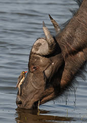 Buffalo and Oxpecker, Chobe National Park, Botswana.
