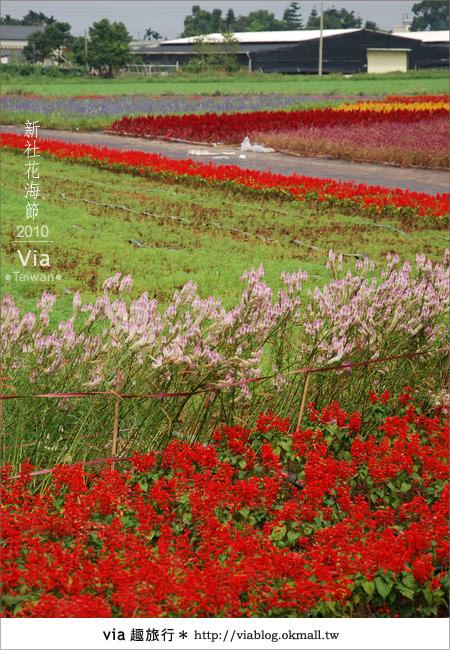 【新社花海】新社花海2010~via拍回來的最新花況3