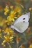 papillon (Reda Gaili) Tags: macro nature butterfly insect couleurs papillon nights soe 1001 beautifulscenery bellissima naturesfinest vibrantcolours beautifulcapture naturewatcher