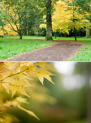 [keep on the golden trail] (.cascata.) Tags: autumn colour tree leaves yellow gold golden maple bokeh path arboretum westonbirt acer