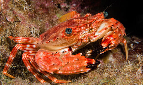 Hawaiian Swimming Crab