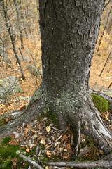 (xchuckx) Tags: autumn cliff tree automne moss quebec roots quebeccity falaise arbre mousse racines rurallandscape montwright paysagerural mountwright