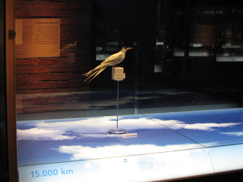 Arctic Tern at Naturalis