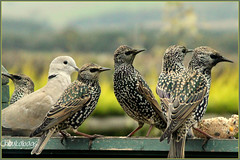 Five starlings and a Dove (Choulabags) Tags: hearts october dove devon 1001nights starlings mywinners choulabags blinkagain bestofblinkwinner