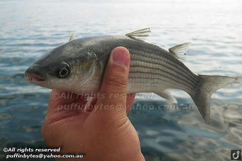 Golden Grey Mullet - Liza aurata