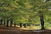 Urbasako pagadia 2 (jonlp) Tags: trees nature forest landscape natura euskalherria basquecountry navarre basoa nafarroa zuhaitzak urbasa paisajea