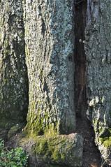 the hollow tree (lhinnz) Tags: oak hollow hugetree