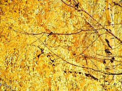 golden days of autumn (Subtle Shade) Tags: autumn leaves gold golden chapeau   firstquality   infinestyle  awardtree visionqualitygroup daarklands