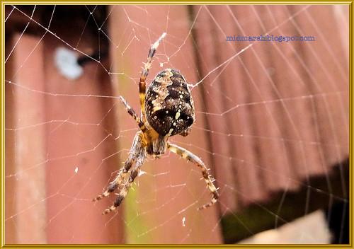 Garden Spider 7