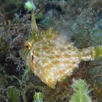 IMG_5456avcrre Planehead Filefish (Stephanolepis hispidus) thumbnail