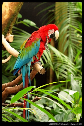 Red-winged Macaw (Ara chloropterus)