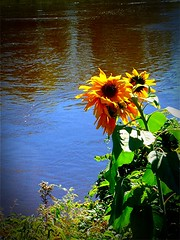 Indian Summer (Maureclaire) Tags: autumn water ma canal october ngc flor sunflowers blomma bunga  girasole girasol indiansummer  sonnenblume zonnebloem girassol sonecznik kwiat solros solsikke napraforg  slunenice altweibersommer brittsommar suncokret goldeneroktober floareasoarelui turnersfallsma ayiei verodesomartinho babielato babieleto  babljeljeto 0a   bobvasara  stmartinssummer  atvasara allhallownsummer oudewijvenzomer vnasszonyoknyara bablto gypsysummer resummer veranillodesanmiguel babyeleto detournesol veranillodelmembrillo veraniodesanmartio oldladiessummer cronessummer sttheresassummer hafbachmihangel saintlukessummer summerofoldladies pastrmayaz pastramisummer babynolito   tsiganskolyato gypsychristmas trezekeszomer stmichaelslittlesummer