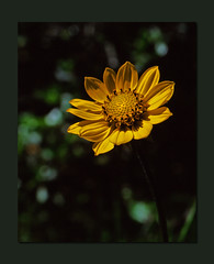 Flower in Sun (RZ68) Tags: california flower 120 up yellow closeup close native velvia sunflower western states 6x7 wooly northern provia rz67 eriophyllum lanatum e100 rz68