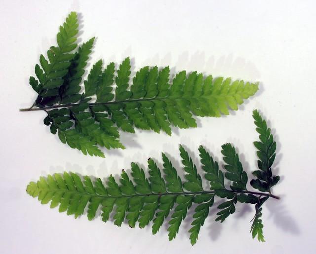IMG_7991 ferns