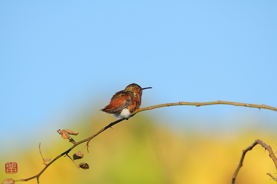 Allen's Hummingbird 110510-4