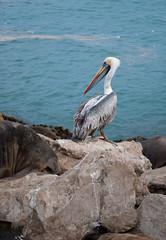 """""""esta rica el agua parece...."""" (Ricardo Luengo) Tags: ocean chile sea mar san pelican ricardo antonio oceano pelicano luengo mywinners ricardoluengo"""