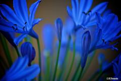 Blues (Raja Ranganathan) Tags: california ca blue flower simivalley varnam tamron1750 mukil lifethrulens