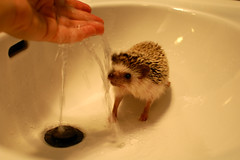 sink acorn (Justin Snow) Tags: cute bath acorn hedgehog grumpy