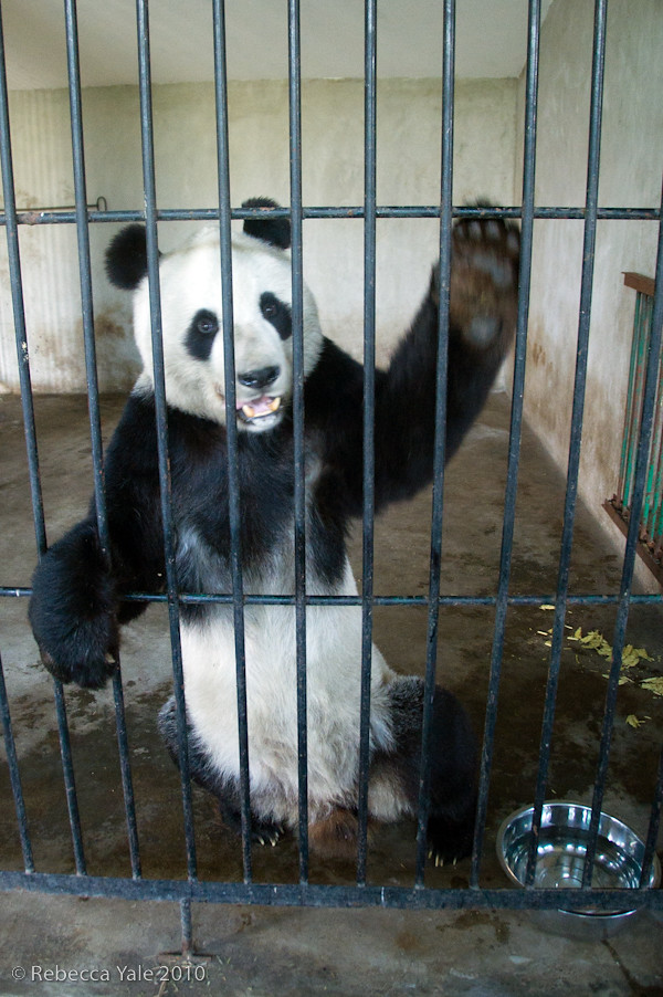 RYALE_Panda_Bears_25