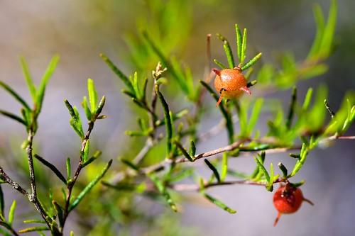 Dodonaea sp. (Sapindaceae); Hop-bush