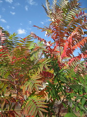 Smooth Sumac (mccormacka) Tags: november autumn red tree sumac missouri shrub slcc