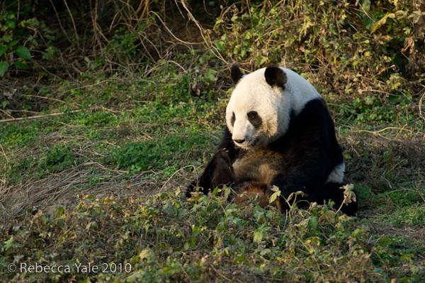 RYALE_Panda_Bears_7