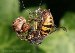 Spider versus wasp? No contest! (M.D.Parr) Tags: uk england macro english nature closeup dinner spider fight close wasp natural britain spiders wildlife web victim battle british capture captive drama hertfordshire versus araneusdiadematus arachnida herts gardenspider martinparr naturephotos gartenkreuzspinne up close lens00025 cross natureimages common mywinners garden spider spider buzznbugs wasp vulgaris beautifulmonsters araneus diadematus vespula diadem