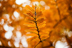 golden feathers (moaan) Tags: life leica november autumn color digital 50mm gold glow dof bokeh dr diary summicron kobe utata rokko glowing hue tinted metasequoia 2010 m9 f20 brightyellow tinged coniferoustree goldenyellow confier autumnaltints inlife leicasummicron50mmf20dr leicam9 diaryofnovember gettyimagesjapanq1 gettyimagesjapanq2