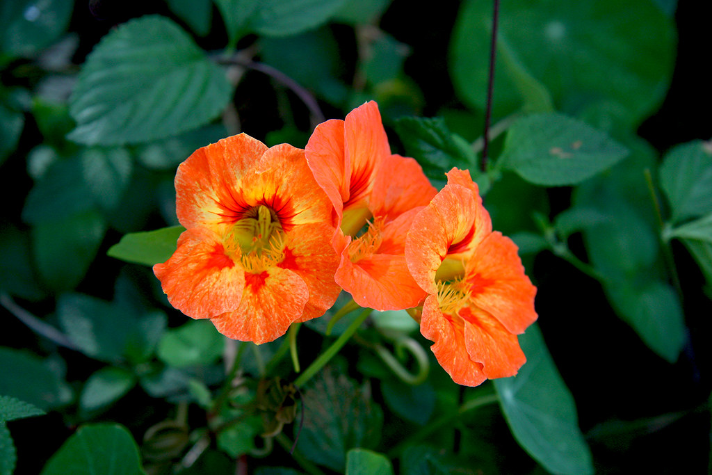 Unusual Nasturtium Growing in My Cousin's Garden in Moggill (Brisbane)