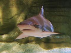 Requin pointes noires