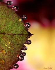 Macro Flower closeup Water drops (aroon_kalandy) Tags: pink light india macro beautiful beauty creativity photography lights asia photographer sony kerala fantasy concept lovely waterdrops majestic naturelovers kozhikode topshots beautifulshot photoscape sonydslra200 tamronspaf90mmf28dimacrolens