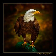 Eagle (Ivn Maigua) Tags: ecuador nikon eagle ivn hdr otavalo imbabura nikond200 artistictouch parquecndor ivnmaigua
