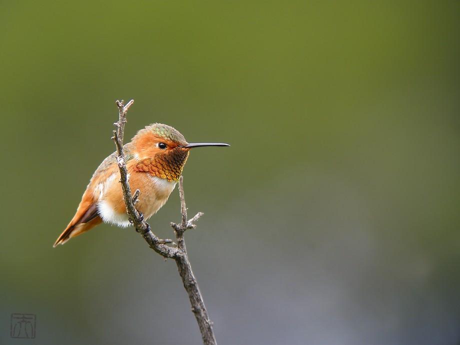 Allen's Hummingbird 2010o-1